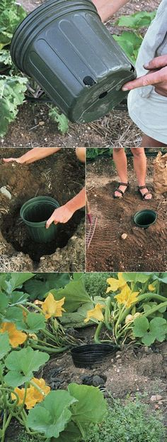 Arrosage courges :  Place the seeds AROUND the pot. When you water, you water in the pot so the water comes out of the drain holes around the bottom for deep root watering.