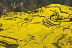 : : landscape : : Mustard fields in Yunnan province, China. Photograph: Katie Garrod/Corbis