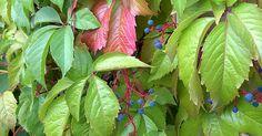 Jungfernrebe, Mauerwein, Parthenocissus vitacea / inserta - 24,80 Euro