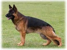 The original German Shepherd Dog was actually a combination of several different herding breeds. From the rugged areas around Germany and surrounding countries, shepherds and farmers prized their combination herd guardians and herding dogs, which were typically mid to large sized dogs, rangy and athletic while not being bulky or heavy.
