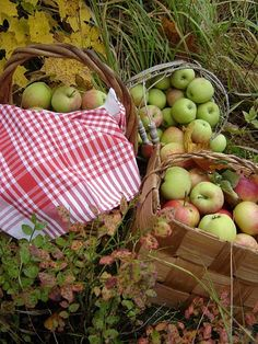 an apple orchard for fresh apples to make pies for the winter!