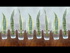 Gardens Discover Snake Plant Propagation by Leaf Cuttings in Water