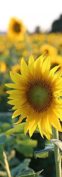 Sunflower Flower, Sunflower Fields, September Themes, Gladiolus, Bokeh, Peonies, Sunflowers, Flora, Nature
