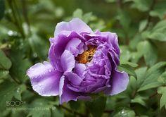 Şakayık Çiçeği ( Paeoniaceae) by ismailcalli