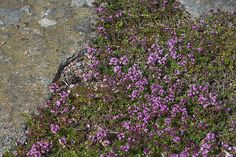 "Red Creeping Thyme [Thymus serpyllum] A small member of the mint family, this plant has soft and fragrant foliage underfoot and dark green leaves with reddish flowers in summer. Likes well-drained soil. Can be cut back. 3""h x 3'w"