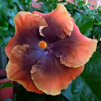 Tahitian Moody Blues x Moorea Shadow Shadow Taiwan Hibiscus - Linda Lee Exotic Plants, Tropical Plants, Tropical Flowers, Cactus Plants, Tropical Gardens, Blue Hibiscus, Hibiscus Plant, Hibiscus Flowers, Rare Flowers
