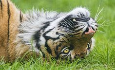 Sumatran tiger lying on the back in the grass
