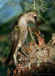 Anna's hummingbird feeds nectar to a baby, near Big River.