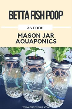 Using fish waste as plant fertilizer is known as aquaponics. No soil is needed because the fish waste provides all of the nitrates that the plant needs in this mason jar aquaponics indoor herb garden. GreenPLUR.