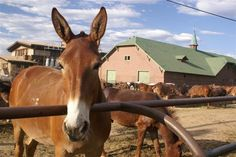 Mule Train takes you to the bottom of the Grand Canyon