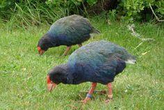 South Island Takahē, flightless bird indigenous to New Zealand Kinds Of Birds, All Birds, Love Birds, Pretty Birds, Beautiful Birds, Ostriches, Flightless Bird, Unusual Animals, Colorful Birds