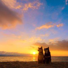 . . Glow of the sunset! . My precious dogs. Nene Musashi 今日も出かけられず… ごめんな… ねねとむさし。 もう少し我慢してな。 いっぱい遊んで夕日を見に行こうな。 #neneandmusashi #shiba #shibainu #柴犬 #igers #igersjp #夕陽 #夕日 #sunset #空 #sky #sea #2015
