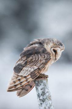 Owl. Dia 17