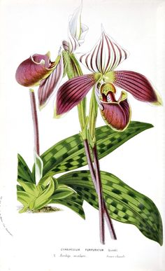 Cypripedium Perpuratum: Plate from Flore des Serres et Des Jardins de L'Europe Volume XI, opposite page 173. Plate from Flore des Serres et Des Jardins de L'Europe Volume XI. Scans of 2 d images in the public domain believed to be free to use without restriction in the US.
