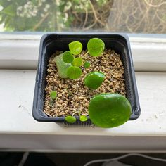 When my Peperomia Polybotrya arrived it was very healthy Plant Care, Healthy, Tips, Plants, Plant, Health, Planets, Counseling