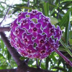 Spotted Hoya Wax Plant vines fabulous purple clusters of flowers succulent