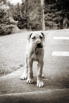 great dane puppy...still want my duke...even though I have a pittie duke...lol