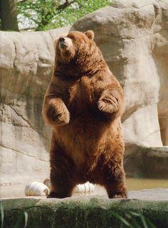 bear - Google Search