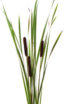 Photo about Big brown cattails stands on white background. Image of rhizome, haulm, straw - 11257970 River Painting, Rock Painting, Plant Drawing, Drawing Flowers, White Background Images, Stencil Templates, Trees To Plant, Painted Rocks, Flower Arrangements