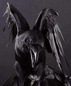 Pet Raven's Love to Talk!: