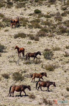 See wild Brumby in NSW, Australia on a road trip through the Snowy Mountains