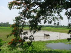 Cultivating Paddy, which is the Staple Diet of Bengal.