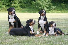 Sennenhund Breeds