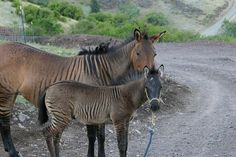 Zorse friends - photo by equizotics, via Flickr;  These two zorses are not related.