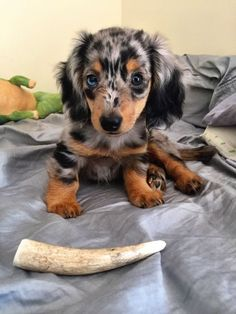 This is Terra and she was born on Earth Day! She's a longhaired dapple miniature dachshund :)