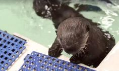 Baby Otter Found Crying Alone Now Has The Cutest Adventures