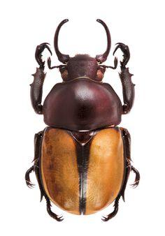 Fruhstorferia flavipennis