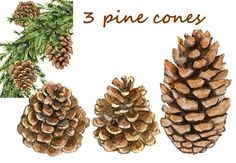 pine cone clipart fall elements fall clipart pine cone