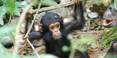 How NASA Satellites Are Helping To Protect Endangered Chimpanzees
