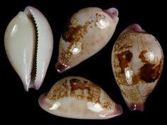 Image result for staphylea semiplota