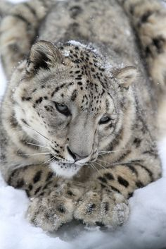 Snow Leopards Love Snow (by Mark Dumont)
