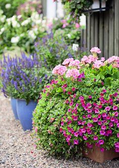 Yhdistele pelargoneja muiden lajien kanssa – saat kertaheitolla värikkäitä, koko kesän kukkivia istutuksia. Katso inspiroivat kuvat Viherpihasta ja istuta iloksesi!