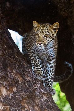 A Young Leopard Cub ~ In A Nyala Berry Tree.   (Photo By: Mike Dexter on 500px.)