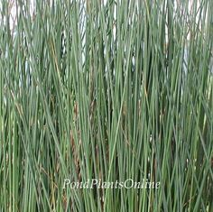 Add some visual appeal to your pond, and add in some of these blue rush plants! This hardy bog plant is low-maintenance and sold in bundles of two. Bog Plants, Types Of Plants, Rush Plant, Partial Shade Flowers, Fish Ponds, Plant Shelves, Plant Growth, Aquatic Plants, Container Plants