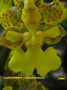 Macro of Trichocentrum cavendishianum