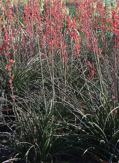 Red False Yucca Flowered A Reliable Desert Plant With Short Thin