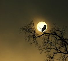 Owl silhouette against the moon