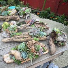 Driftwood Succulent Centerpieces – Far Out Flora Succulents In Containers, Cacti And Succulents, Planting Succulents, Planting Flowers, Flowers Garden, Fairies Garden, Cactus Plants, Fall Flowers, Blooming Flowers