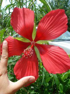 Hibiscus estrella roja gigante.
