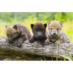Portrait of Young Cute Wolf Pups on Log Minnesota Spring Captive by Design Pics Inc Landscapes Photographic Print - 61 x 41 cm Wolf Photos, Wolf Pictures, Animals And Pets, Baby Animals, Cute Animals, Strange Animals, Wolf Spirit, Spirit Animal, Beautiful Wolves