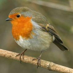 british robin - Google Search