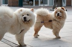 Pair of Chow Chow dogs waiting outside supermarket in Wapping heard their owner coming, via Flickr.