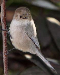 "Bushtit. Yes, I just said ""bushtit"". http://www.allaboutbirds.org/guide/Bushtit/id"