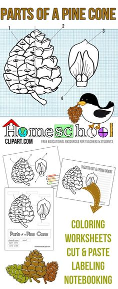 Free Parts of a Pine Cone Science Printables.  Great for a hands on Fall Science Project.