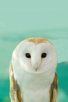 barn owls are probably my favorite, then snowy, then horned... I think... I don't know, elf owls are pretty cute, too