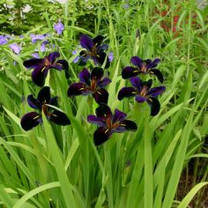 Requires consistant water and thrives is boggy marsh like conditions. A vigorous grower, common name Louisiana Iris, that tends to bloom after most irises are finished. Bog Plants, Water Plants, Growing Plants, Native Plants, Bog Garden, Rain Garden, Louisiana Iris, Hummingbird Plants, Zantedeschia